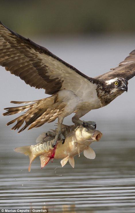 صحنه های استثنایی از عقاب ماهیگیر در حال شکار