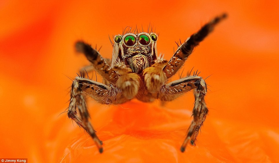 تماشای عنکبوتهای شش چشم که به لنز عکاس خیره شده اند
