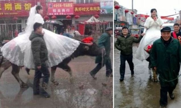 عروس چینی سوار بر گاو، به خانه بخت رفت؛ ببینید