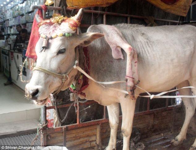 تصاویری از گاو 5 پا در هند که مردم پرستش اش می کنند