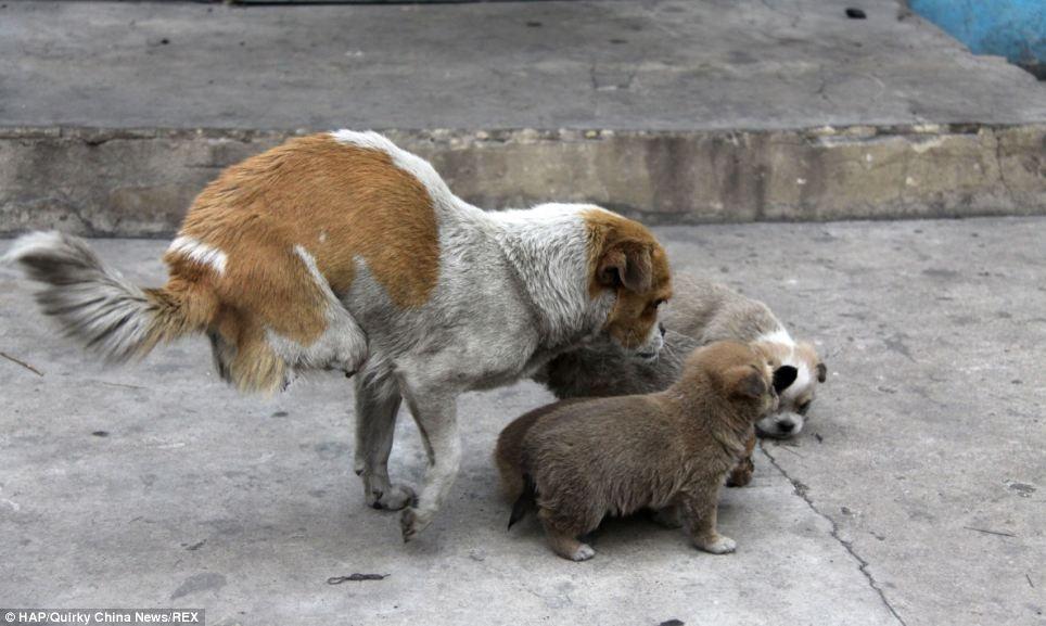 تصاویری از سگ ولگرد دو پا که 4 قلو زائید