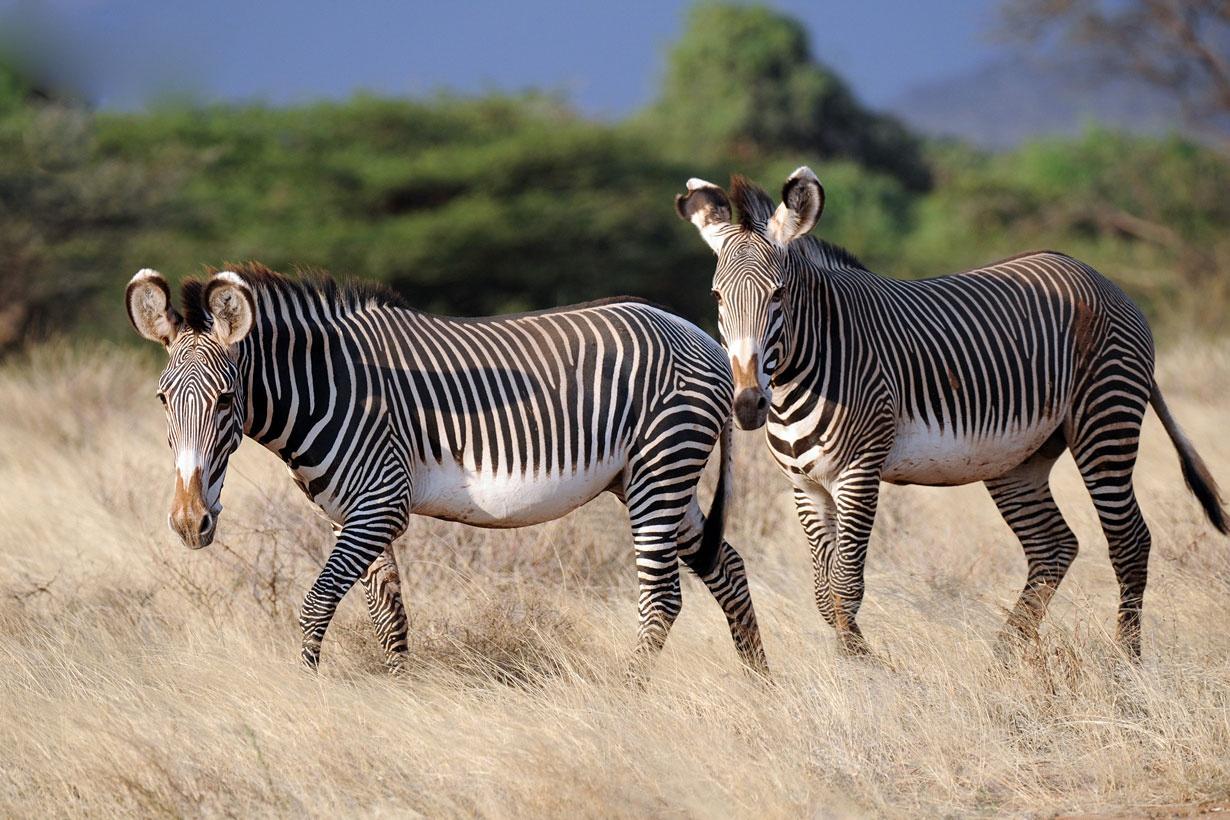 """تصاویری از گورخرهای زیبا و در حال انقراض""""گروی"""" در شرق افریقا"""