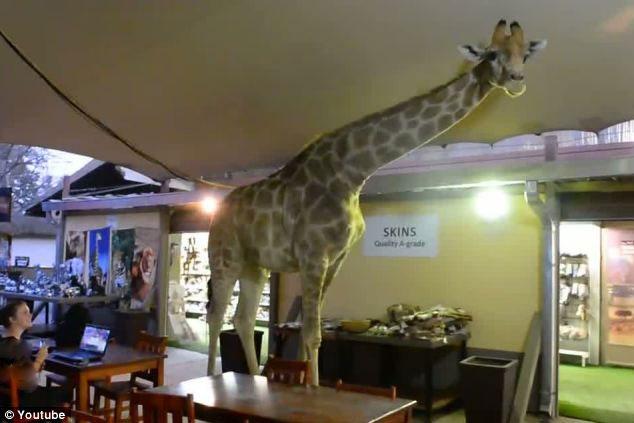 تصاویر وارد شدن زرافه 6 متری به رستورانی در ژوهانسبورگ