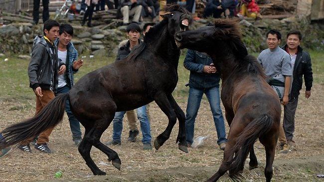 تصاویر مردمی که با جنگ بوفالوها و اسب ها به استقبال بهار می روند