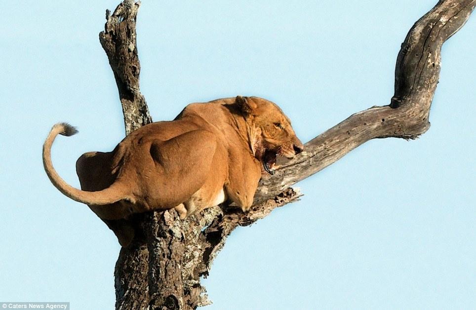 این شیر ترسو را ببینید که از دست فیل روی درخت فرار کرده