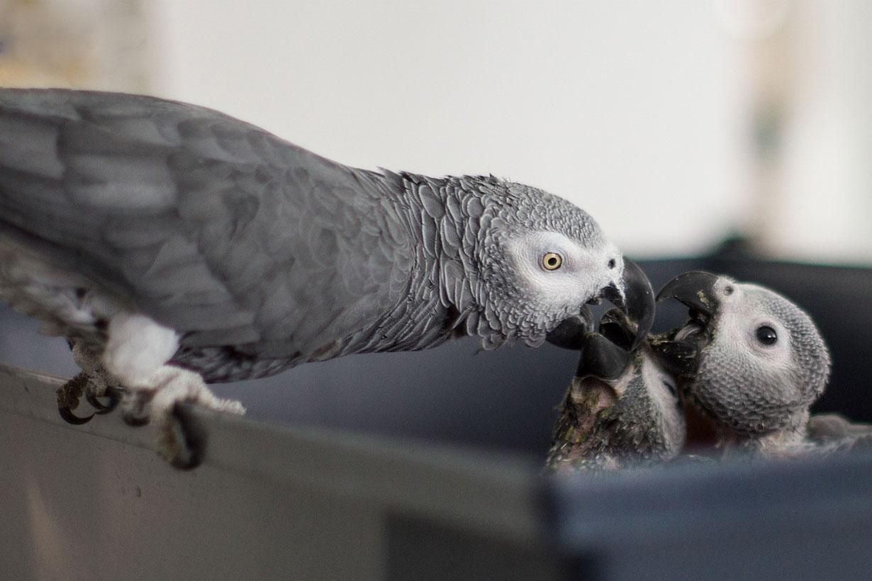 کاسکو، سخنگوترین طوطی جهان را ببینید