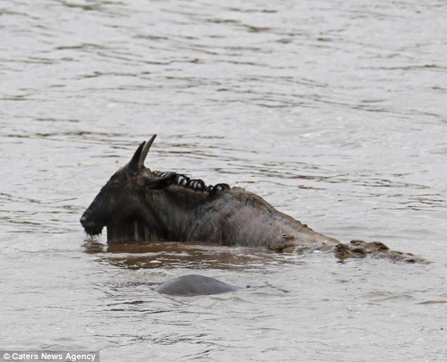"""تصاویری ازاسبهای آبی قهرمان، بادیگارد """"کل یالدار"""" در رودخانه علیه کروکودیل"""