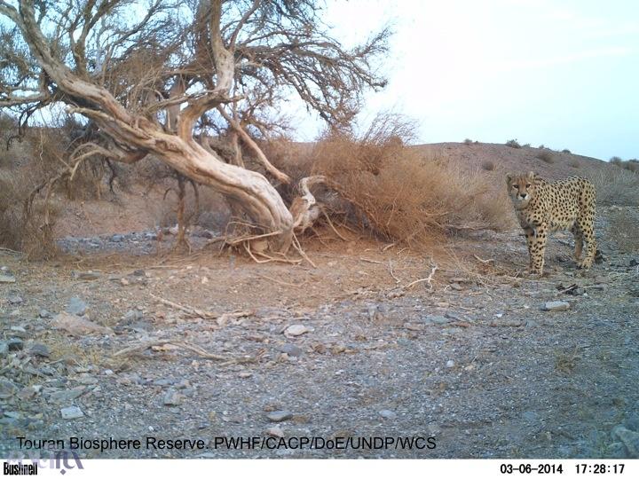 آخرین عکس از یوزپلنگ ایرانی در سال ۹۲