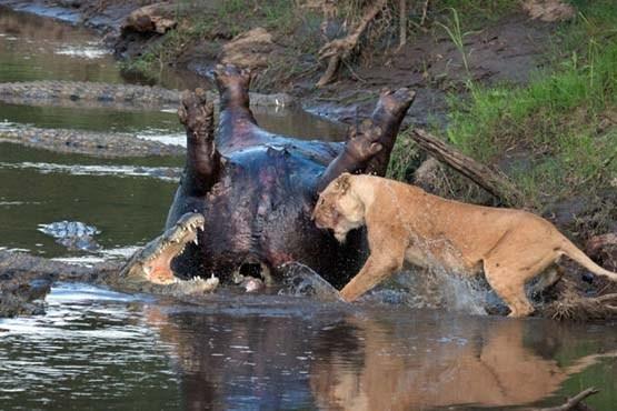 عکاس خوش شانسی که توانست جنگ شیر و کروکودیل را ثبت کند