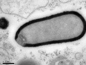 بزرگترین ویروس عصر حجر با طول 0.000,001,5 متر زنده شد!