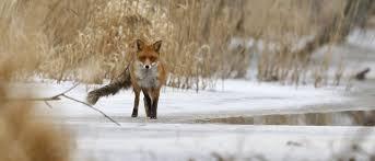این روباه مهمان ناخوانده کاخ سفید است