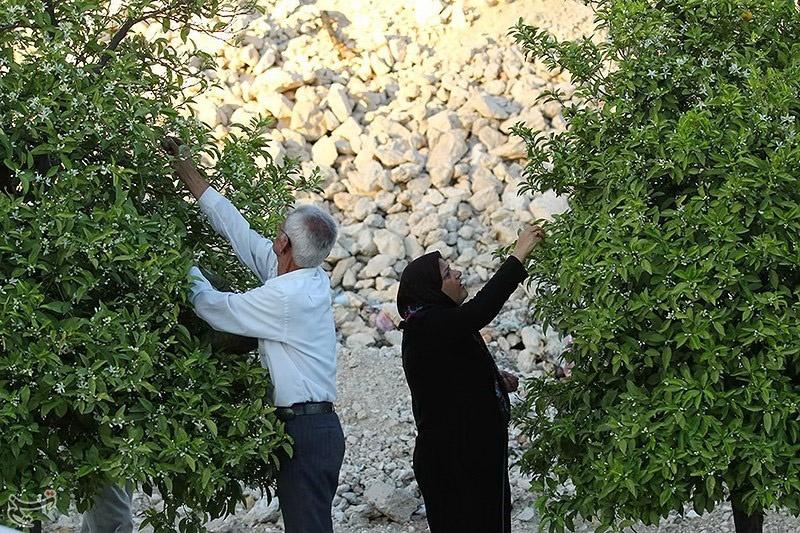 های شهر شیراز این روزها شیراز سرمست رایحه سحرانگیز بهار نارنج است