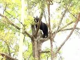 خرس قربانی ناجیان ناشی شد