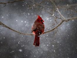 شباهت های آواز خواندن پرندگان و توان تکلم در انسان