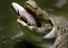 برق مارماهی، تمساح را کشت! + فیلم