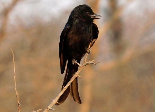 چوپان دروغگوی طبیعت هم پیدا شد، پرندهای به نام بوجانگا