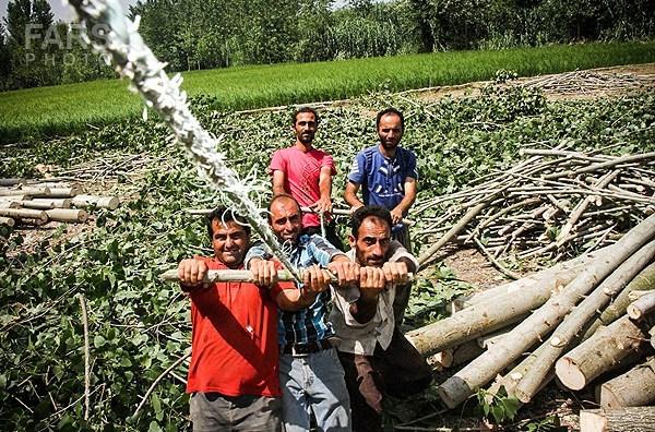 برداشت صنوبر پرورشی/ راهی برای جلوگیری از نابودی جنگل ها