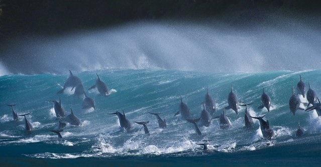 نمایی کمنظیر از موجسواری دلفینهای باهوش