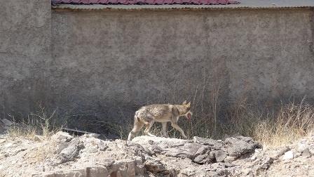 گرگی که در خیابانهای کرج پرسه می زد