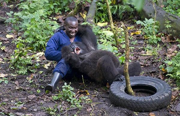 گوریلها چطور از محیطبانها قدردانی میکنند؟/عکس