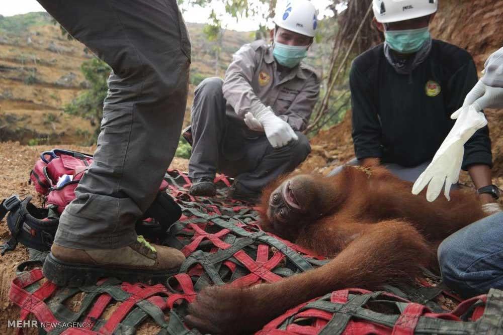 به خطر افتادن حیات اورانگوتانها در اندونزی