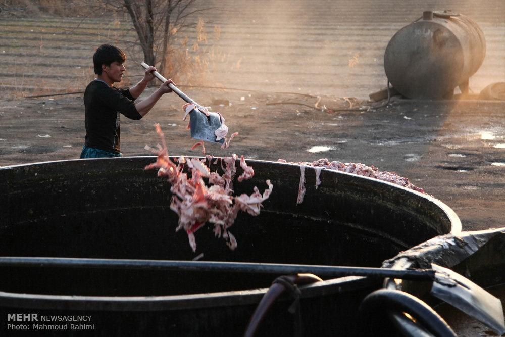تولید لوازم آرایشی با ضایعات مرغ در حاشیه تهران