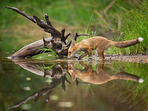 یک جرعه آب خنک برای روباه/عکس روز نشنال جئوگرافیک