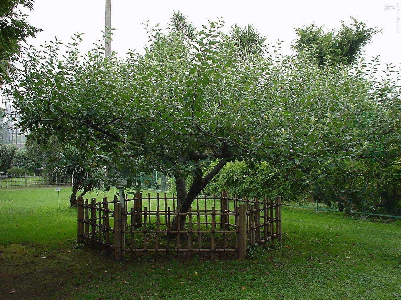 درخت سیب معروف نیوتن / عکس