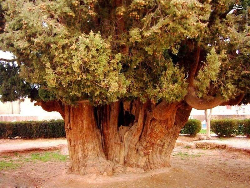 درختی که پسر حضرت نوح (ع) در یزد کاشت/عکس