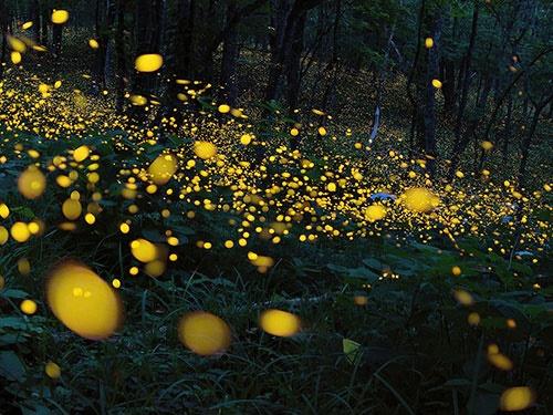 رودخانه نور/عکس روز نشنال جئوگرافیک از کرمهای شبتاب