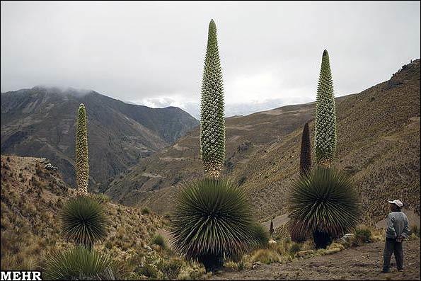 گیاهی که فقط در یک قرن یکبار گل می دهد