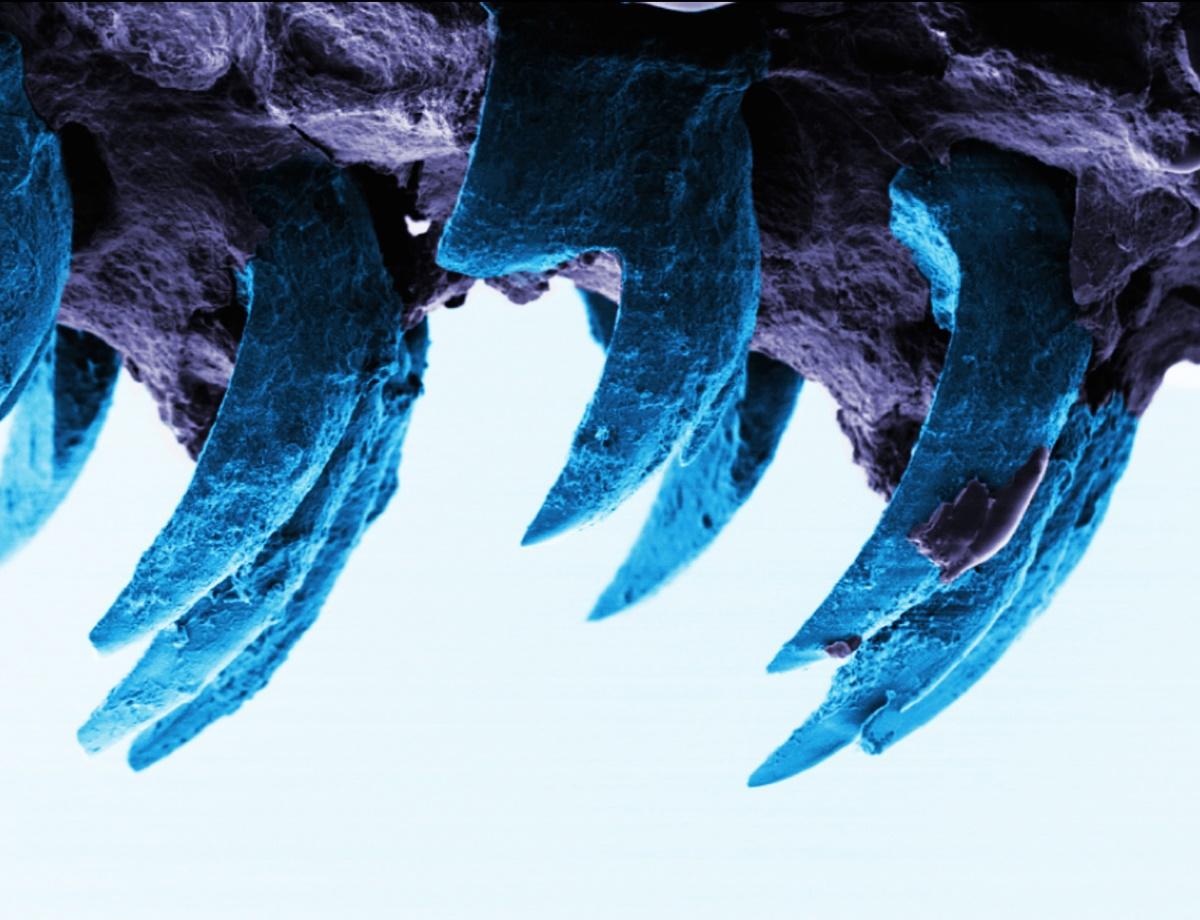 کشف قویترین ماده جهان در دندان خارهچسب