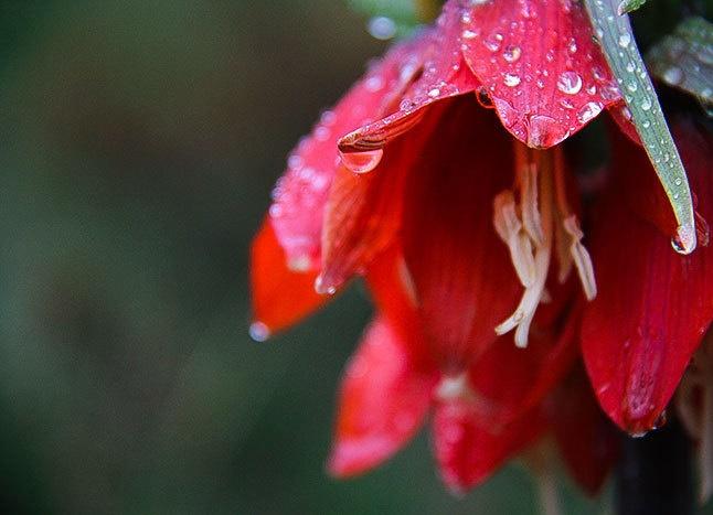 گل همیشه گریان