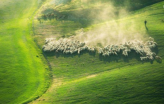 مناظر بسیار زیبا از چرای گوسفندان در مزارع ایتالیا