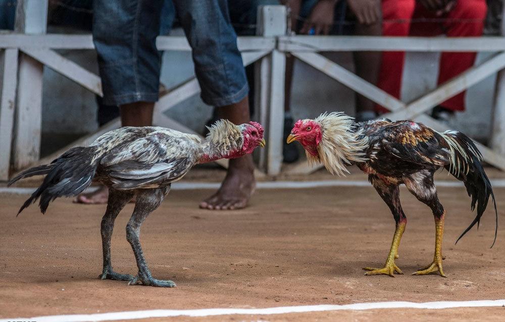 مبارزه خروس ها در ماداگاسکار