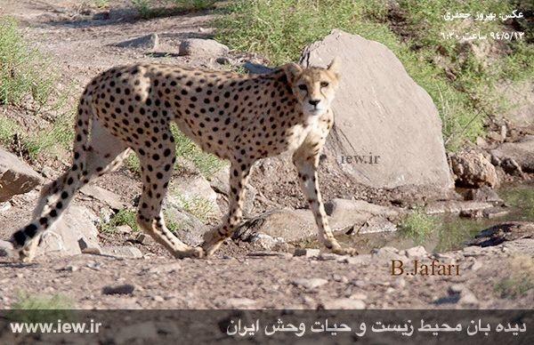 نقش تیم ملی فوتبال ایران در نجات یوزپلنگ ایرانی/درویش:چوبانها دیگر با سگها یوزپلنگ را شکار نمیکنند