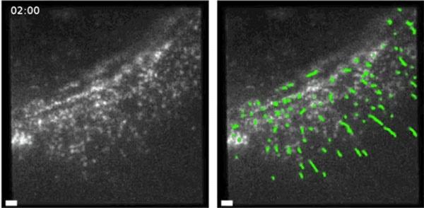حرکت مولکولها درون سلولهای زنده را ببینید/تصویر متحرک