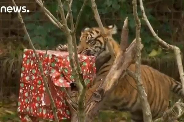 فیلم | صحنههای دیدنی از حیواناتی که هدیه کریسمس دریافت کردند