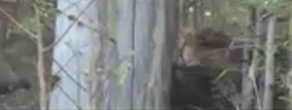 کشتن خرس توسط ببر بنگال