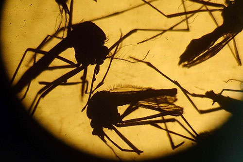 طرح ۵۶ میلیون دلاری سازمان جهانی بهداشت برای مقابله با زیکا/کابوس این ویروس به پایان میرسد؟