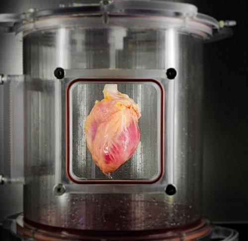 کشت اولین ماهیچه قلب کاربردی از سلولهای بنیادین/پیوند قلب راحتتر میشود؟