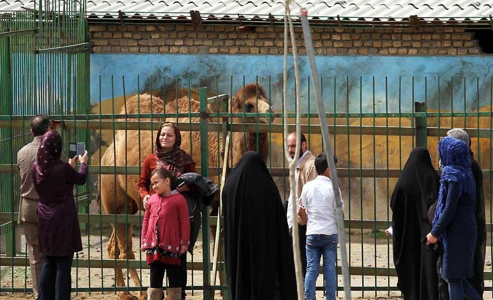 جفت گیری شامپانزه باغوحش وکیلآباد مشهد