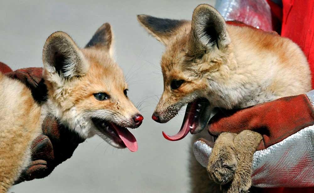 زنده گیری دو قلاده روباه سرگردان در مشهد