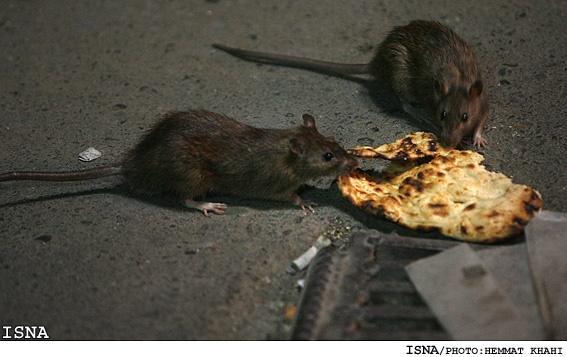 بالاگرفتن مبارزه شهرداری تهران با موش های شهری در فصل گرما/ شهروندان بادفع بهداشتی زباله همکاری کنند