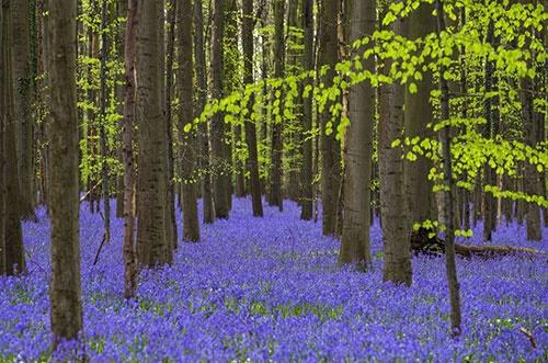 گل های ناقوس آبی در جنگل آبی بلژیک/تصویری از یک رویای بهاری