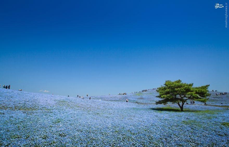 دَشتی رویایی در ژاپن