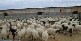 ترانزیت  ۱۰۰ هزار راس دام زنده و ۵۰ هزار تن گوشت قرمز از مرز بازرگان