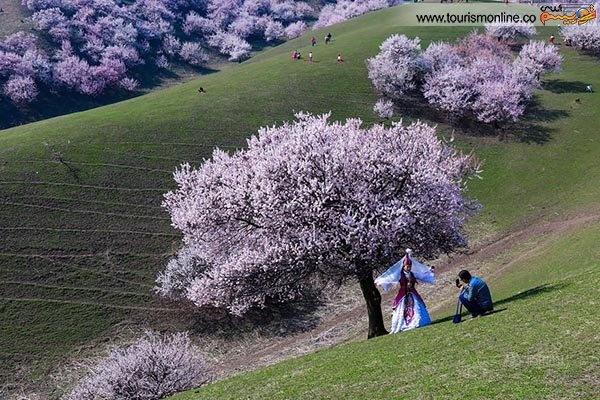 این بار شکوفه های زردآلو دل می برد!