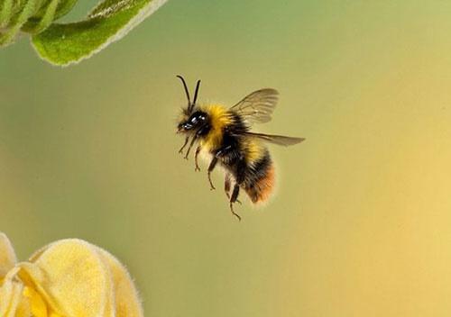 زهر عنکبوت میتواند زنبورهای عسل را نجات دهد؟/تلاش جدید محققان