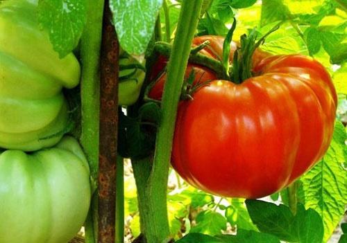 کشف دانشمندان برای داشتن گوجهفرنگیهای خوشمزهتر و مقاومتر!